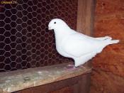 porumbei americani de vanzare foto
