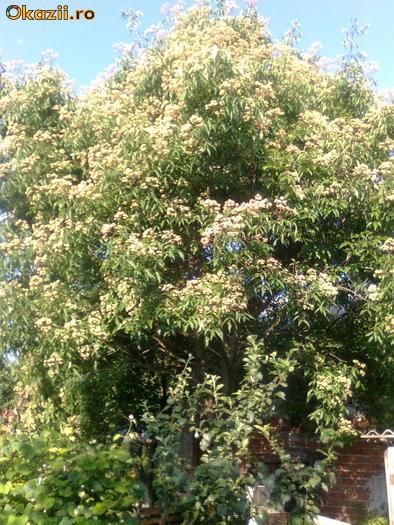 Evodia Hupehensis- Arborele de miere...seminte de vanzare! foto mare