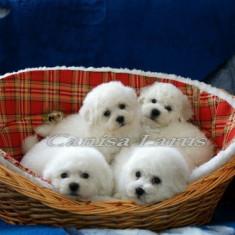 Caine, Bichon Frise - Vand pui Bichon Frise cu pedigree