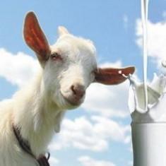 Lapte de capra - Lactate