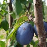 Vand tuica naturala de prune din anul 2012 jud.Buzau
