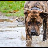 Vand Caine Presa Dogo Canario pedigree
