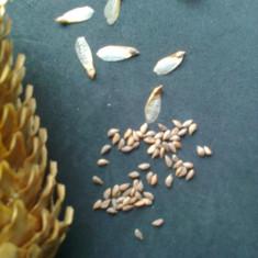 Molid - picea abies - 25 seminte