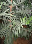 Plante ornamentale de interior -ARAUCARIA (Brad de camera) foto