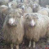 Oi/capre - Vand 100 de oii si 30 de miei foarte frumosi