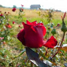 Vand pomi fructiferi si butasi trandafiri pt infintare plantatie profesionista pt flori taiate