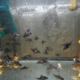 Specii pesti - Vand pesti exotici carasi, melci pomancea