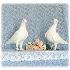 Porumbei vioajori albi
