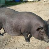 Porc vietnamez - Rase porci