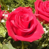 Trandafir Tea Hybrid (butas) - Royal Dreams Bulgaria
