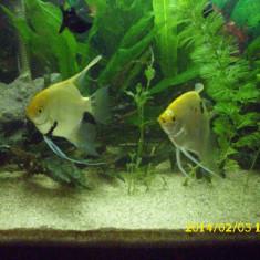 Pereche Scalary - Specii pesti, Cichlidae