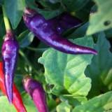 """Seminte ardei iute - Seminte ardei iuti chili """"Purple Cayenne"""""""