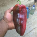 Seminte rosii - Seminte de legume