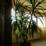 Plante ornamentale - Yucca