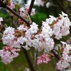 Plante ornamentale - CALIN DE IARNA - Viburnum xbodnantense 'Charles Lamont' - 12 lei