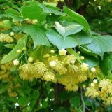 Arbusti fructiferi - Tilia platyphyllos - tei cu frunza mare