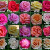 Trandafiri la ghiveci