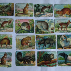 Cartonas de colectie - LOT 16 CARTONASE SCOLARE ANIMALE SALBATICE 6 X 8 CM DIN ANII 30