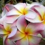 Trandafirul Hawaian - Marshmalow