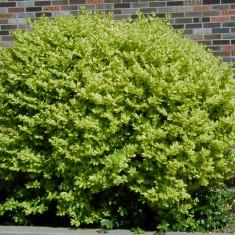 Plante ornamentale - Ligustrum ovalifolium Vicaryi – lemn cainesc galben - 6 lei