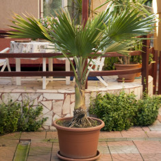 Vând palmier Washingtonia (plantă de apartament) - Palmieri