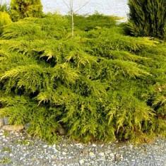 Juniperus chinensis Kuriwao Gold - ienupar galben