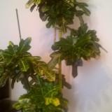 Flori - Floare croton