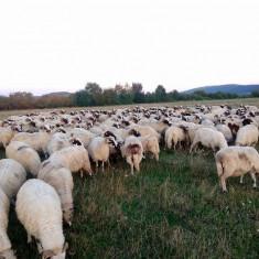 OI DE VANZARE - Oi/capre