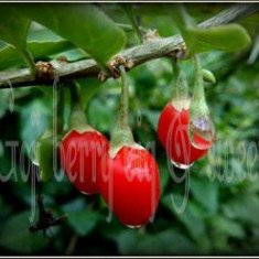 Arbusti GOJI BERRY - BIG AND SWEET - puieti 100cm - 140cm