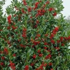 Plante ornamentale - Ilex aquifolium Alaska – ilex Alaska