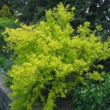 Forsythia intermedia Golden Times – forsithia