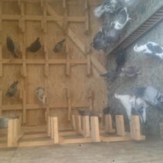 Pui Porumbei voiajori