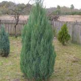 "Juniperus chinensis ""Stricta"" - ienupar chinezesc,"