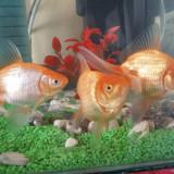 Vand carasi aurii - Specii pesti