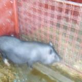 Rase porci - Porci vednamezi