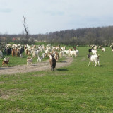 Oi/capre - Vând capre urgent sau schimb cu vaci