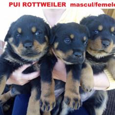Caine - Pui Rottweiler superbi talie mare la pret promo -Valcea