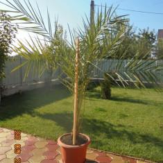 Palmier Phoenix Canariensis - Palmieri