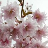 """Prunus incisa """"Oshidori"""" - cires japonez roz"""