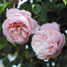 Englezesc Heritage super oferta - Trandafiri